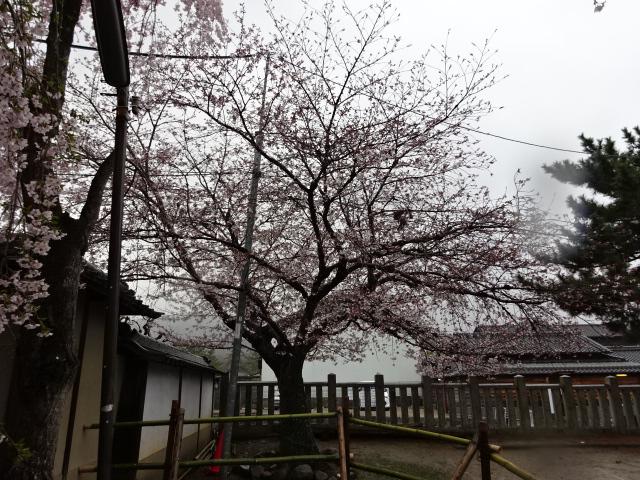 氷室神社のソメイヨシノ2