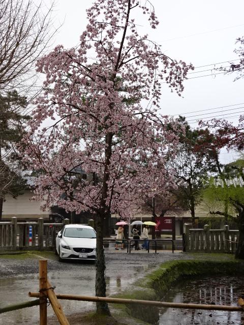 氷室神社のソメイヨシノ3