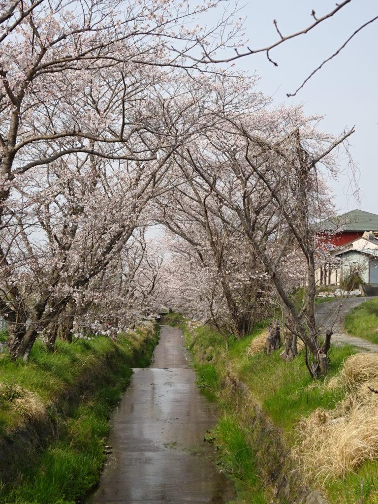 虚空蔵谷川の桜のトンネル