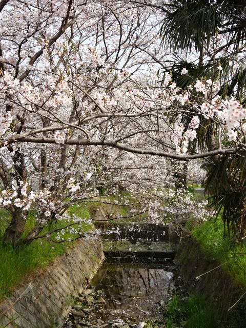 ゴールからの桜並木