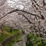 虚空蔵谷川の桜トンネル