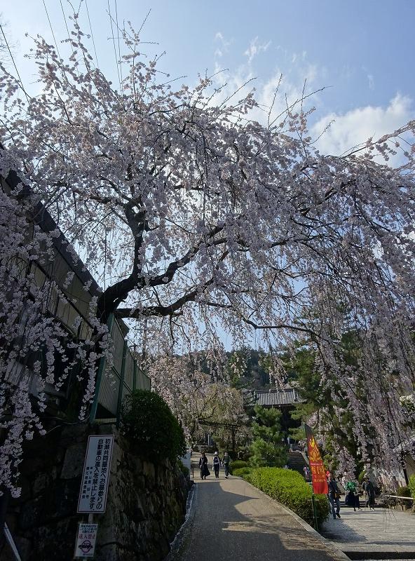 長谷寺の門前の枝垂れ桜