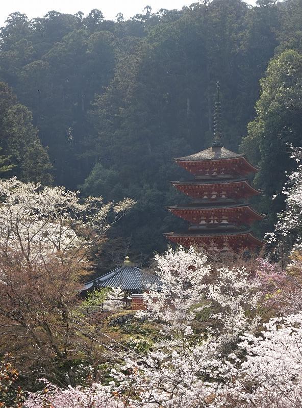 長谷寺五重塔と桜