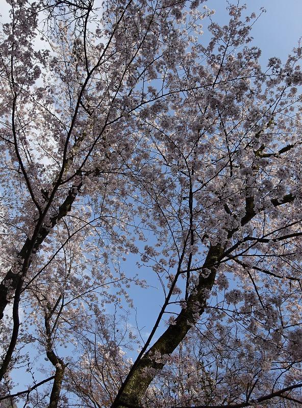 下から見る桜