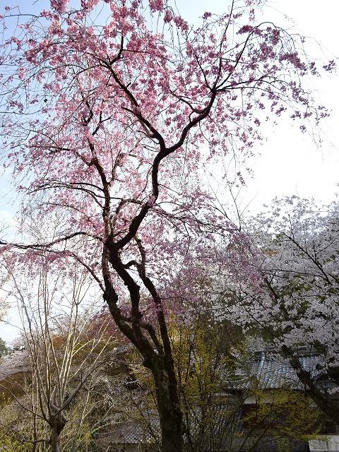 長谷寺の境内に咲く桜