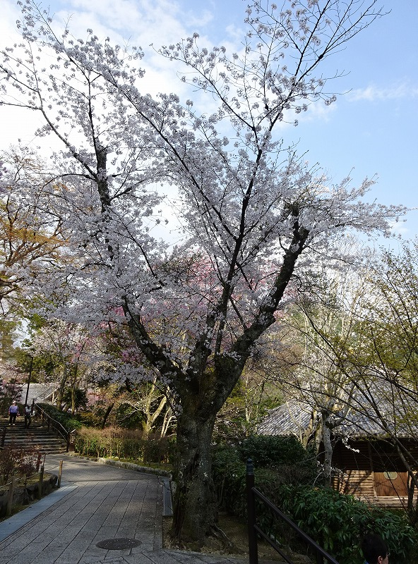 桜が咲き誇る様子