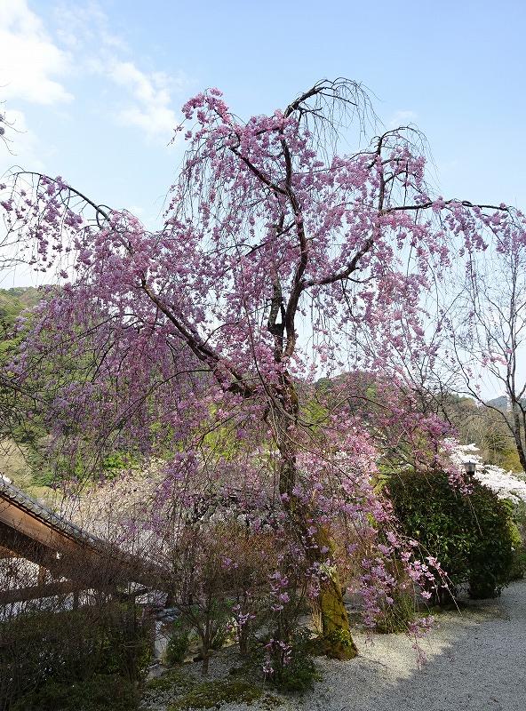 ベニシダレザクラの咲く様子