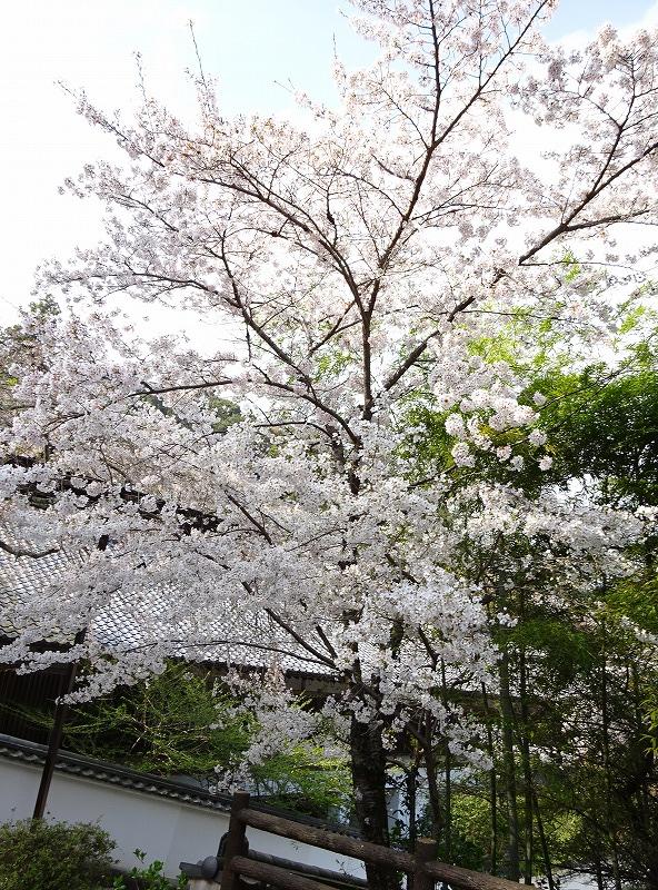 長谷寺境内の桜の様子