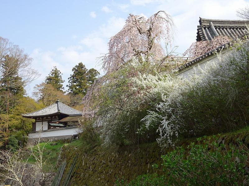 長谷寺本坊付近の桜