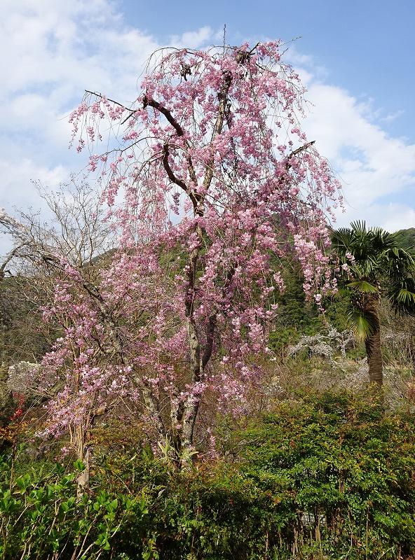 西参道の桜