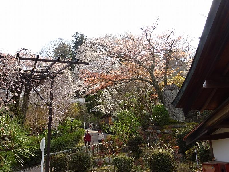 入山受付近くの桜のスポット