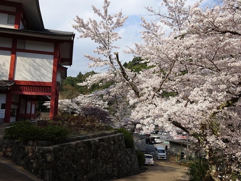境内駐車場へ向かう道の桜
