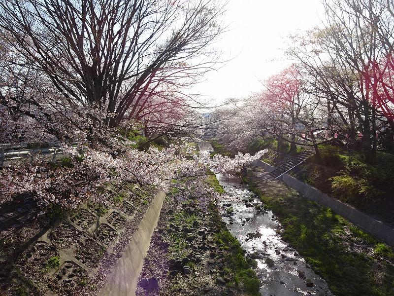 井手町の桜と玉川