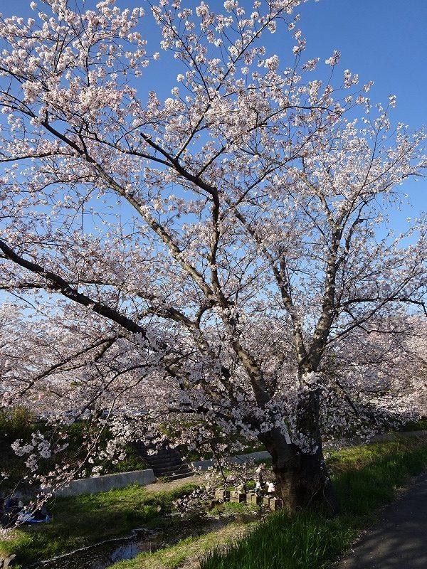 大きな井手町の桜