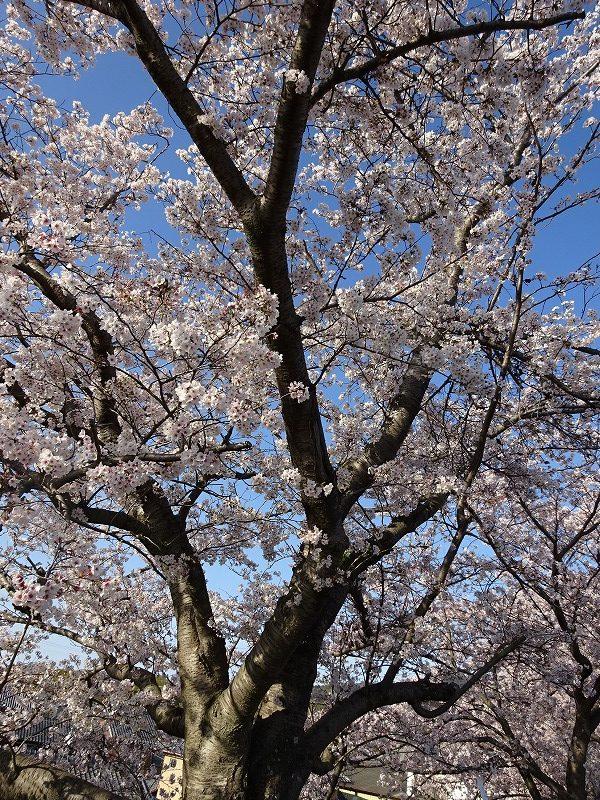 大きな井手の桜のアップ