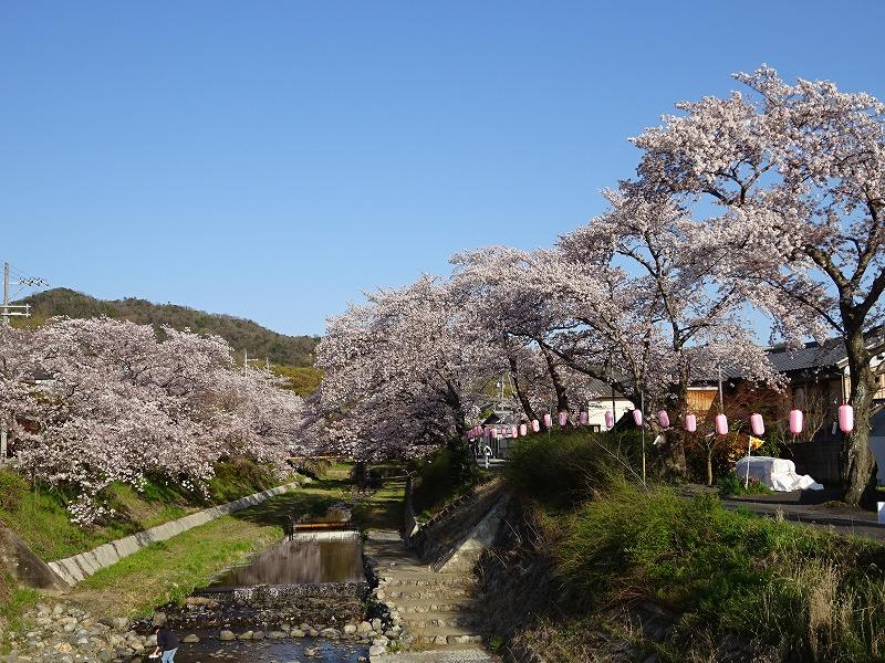 井手の桜並木と玉川下流