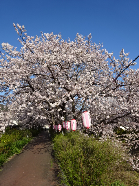 井手の桜と提灯と空