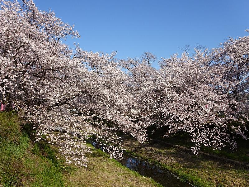 井手町の桜