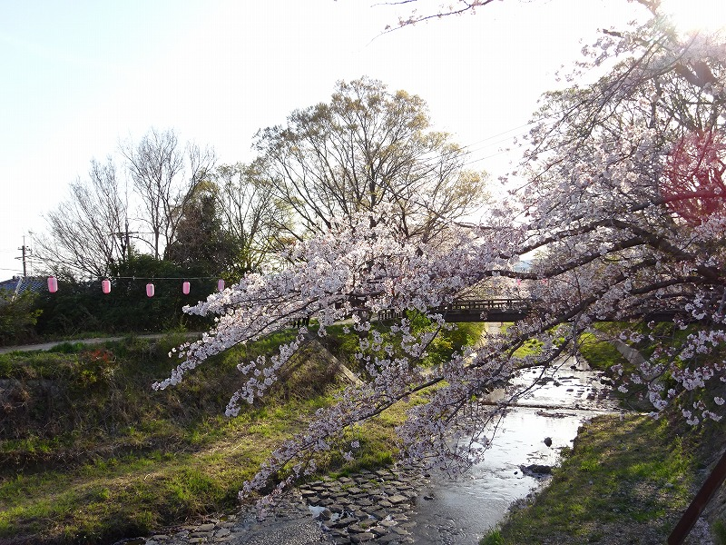 井手の玉川沿いの桜