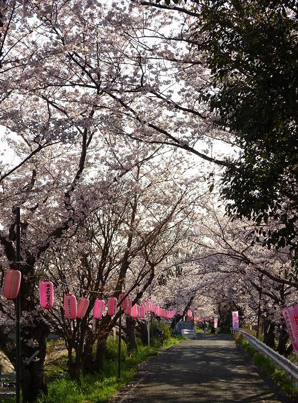 井手町の桜並木道