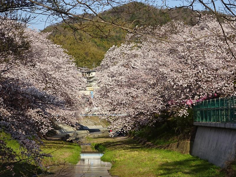 井手の桜と山