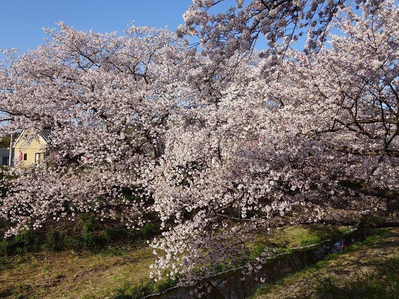 井手の大きな桜