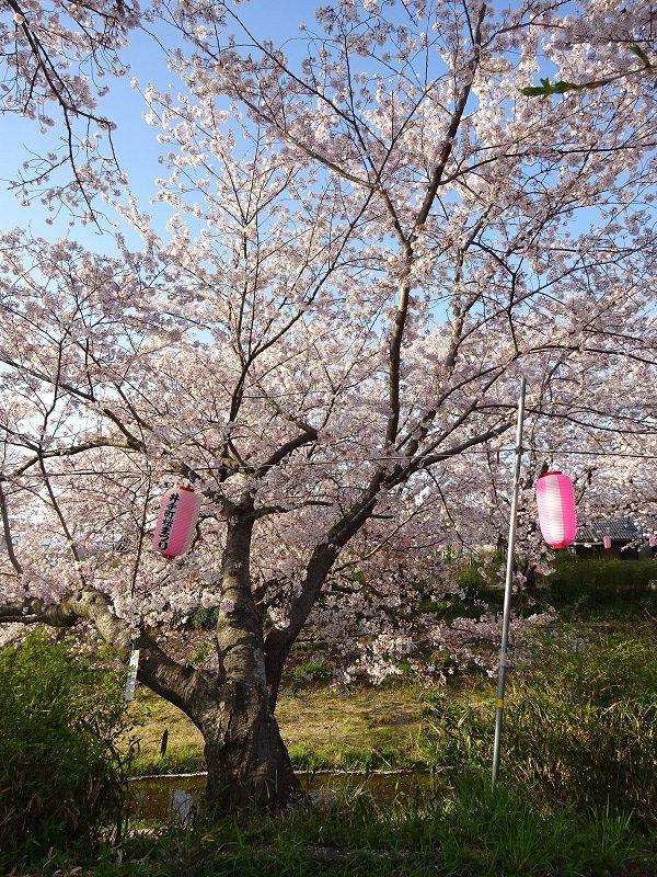 井手の大きな桜と提灯