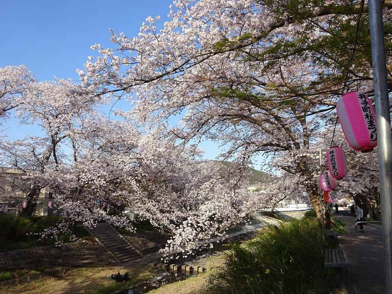 井手の大きな桜と空