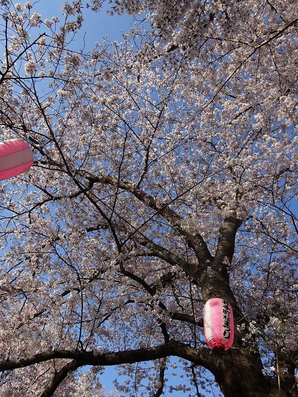 井手の桜と提灯を下から見た景色