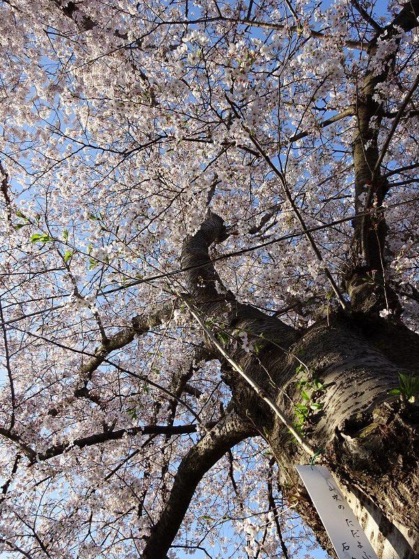 井手の桜を下から見た景色