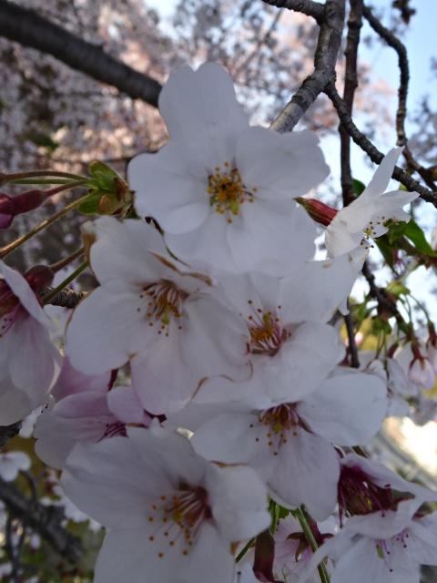井手町の桜のアップ