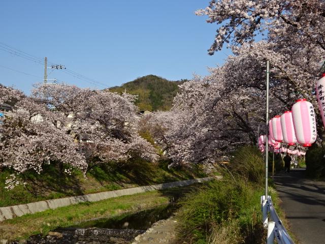 井手の桜と玉川と山