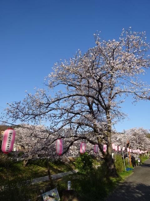 井手町の桜と提灯と空