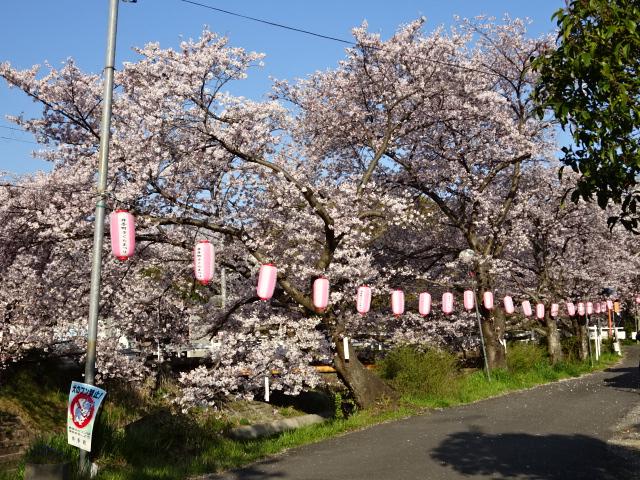井手の桜と並ぶ提灯