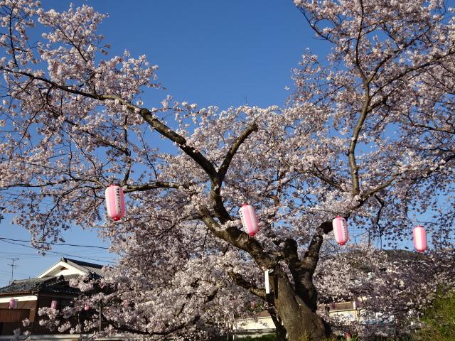 井手の大きな桜と並ぶ提灯