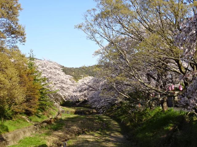 玉川上流の井手の桜