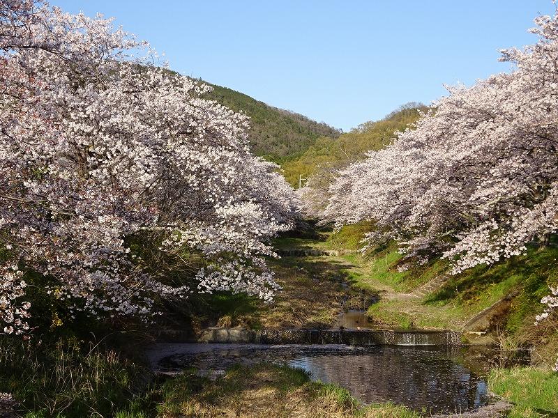 玉川上流の井手の桜と山