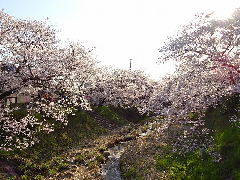 玉川上流の井手の桜並木