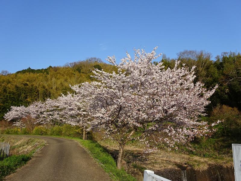 玉川上流の井手の桜と山と空