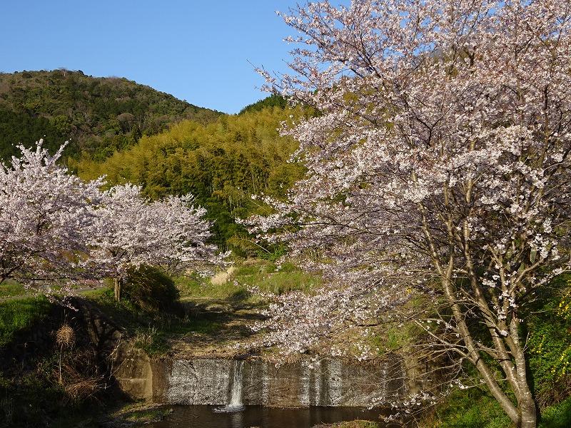 玉川上流の井手の大きな桜