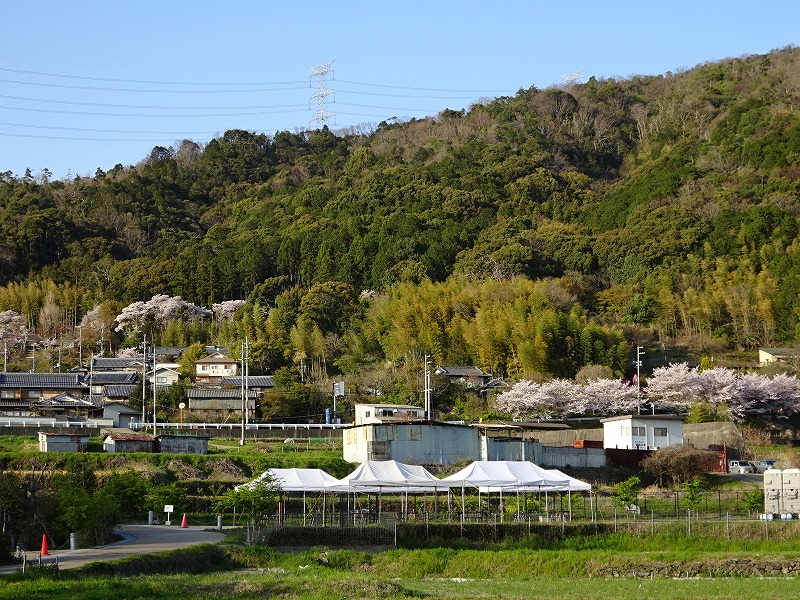 井手の山と桜