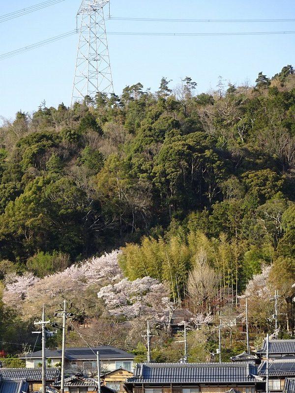井手の桜と山のアップ