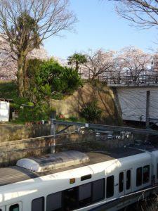 電車と井手の桜