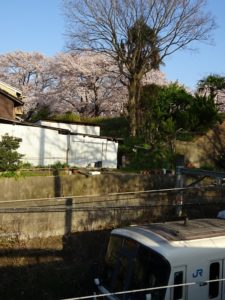 JRの電車と井手の桜