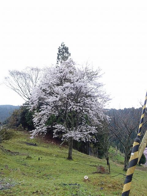 諸木野の桜近辺の別の桜