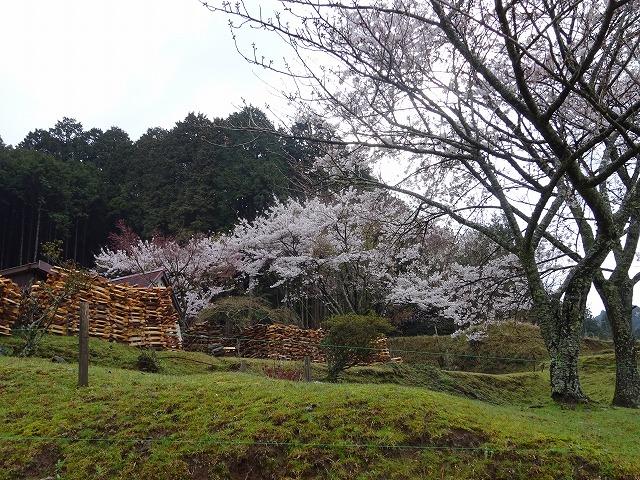 諸木野の里の桜