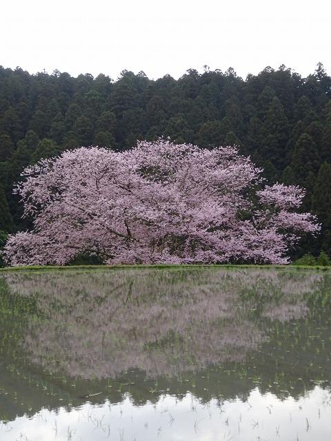 諸木野の桜と水田と山と空