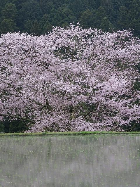 諸木野の桜アップ