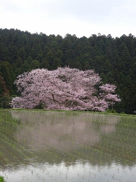 諸木野の桜と田んぼと空と山