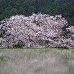 水田に映る諸木野の桜のアップ